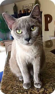 Siamese Cat for adoption in Edmond, Oklahoma - Tommy
