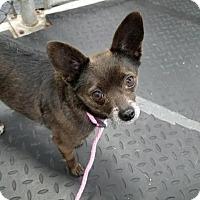 Adopt A Pet :: Patti - Plainfield, IL