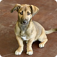 Adopt A Pet :: Sweet Potato - San Antonio, TX