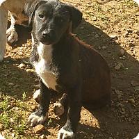 Adopt A Pet :: Kelsie - Salem, NH