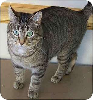 Domestic Shorthair Cat for adoption in Shell Lake, Wisconsin - Mimi
