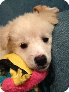 Golden Retriever Mix Puppy for adoption in Foster, Rhode Island - Ginny Pup