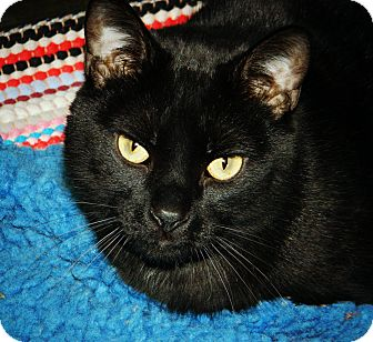 Domestic Shorthair Cat for adoption in Cheyenne, Wyoming - Ninja