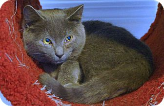 American Shorthair Cat for adoption in Victor, New York - Jupiter