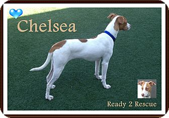 Pointer Mix Puppy for adoption in Rockwall, Texas - Chelsea