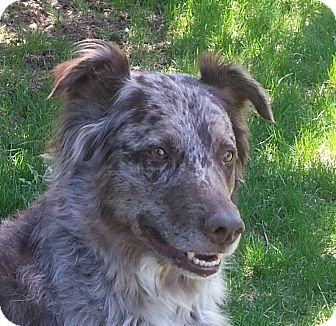 Australian Shepherd Dog for adoption in Rigaud, Quebec - Mike