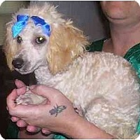 Adopt A Pet :: Chopper - Chandler, IN