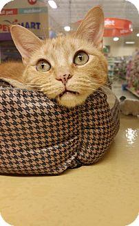 Domestic Shorthair Cat for adoption in McKinney, Texas - Daisy aka Rachel