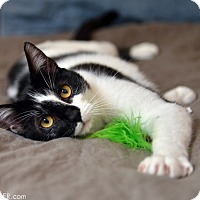 Domestic Shorthair Cat for adoption in San Francisco, California - Bevers
