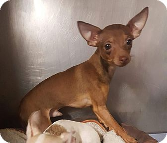 Chihuahua Mix Puppy for adoption in Bronx, New York - Cisco