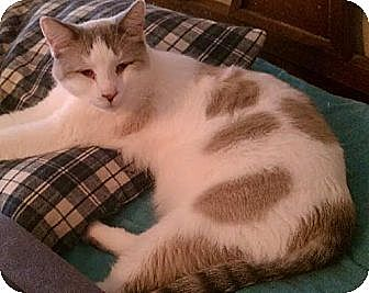 Siamese Cat for adoption in Austin, Texas - Popeye