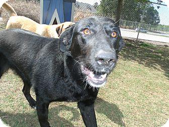 Labrador Retriever/Shepherd (Unknown Type) Mix Dog for adoption in Gadsden, Alabama - Kovu