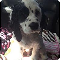 Adopt A Pet :: Bentley - Oceanside, CA