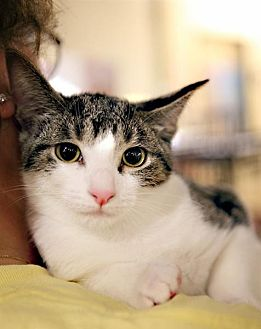 Domestic Shorthair Cat for adoption in Fairfax Station, Virginia - Jenna 1