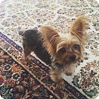 Adopt A Pet :: Melli - bridgeport, CT