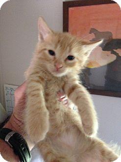 Domestic Mediumhair Kitten for adoption in Ravenna, Texas - Juliet aka Spaghetti