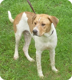 Retriever (Unknown Type)/Hound (Unknown Type) Mix Dog for adoption in Livingston, Texas - Willy