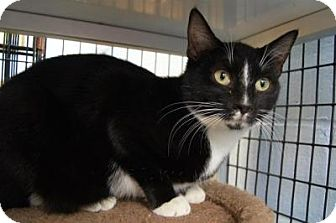 Domestic Shorthair Cat for adoption in New Milford, Connecticut - Abra