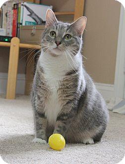 Domestic Shorthair Cat for adoption in Carlisle, Pennsylvania - Shadow