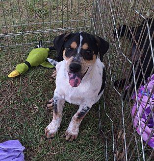 Beagle/Shepherd (Unknown Type) Mix Dog for adoption in Acworth, Georgia - Spot