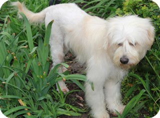 Wheaten Terrier Mix Dog for adoption in Norwalk, Connecticut - Barnaby - adoption pending
