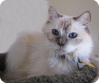 Himalayan Cat for adoption in Gilbert, Arizona - 313