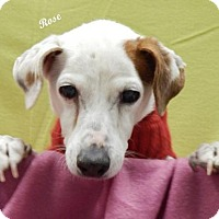 Jack Russell Terrier Dog for adoption in Columbia, Tennessee - Rose