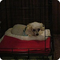 Adopt A Pet :: Chloe - Essex Junction, VT