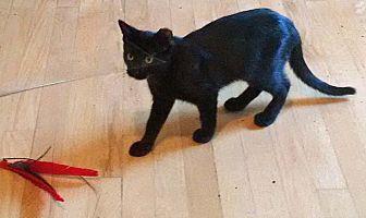 Domestic Shorthair Cat for adoption in Brooklyn, New York - Luna