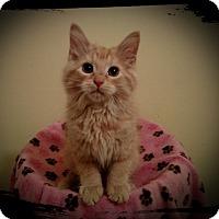 Adopt A Pet :: Apricot - Richmond, VA