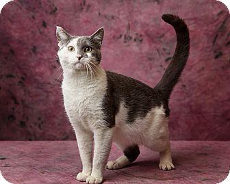 Domestic Shorthair Cat for adoption in Harrisonburg, Virginia - Leopardo DiCatrio