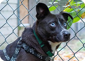Border Collie Mix Dog for adoption in South Bend, Indiana - Brando