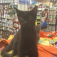 Domestic Shorthair Kitten for adoption in Griffin, Georgia - Allura
