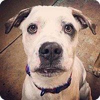 Adopt A Pet :: Boopy - Pottsville, PA