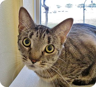 Domestic Shorthair Cat for adoption in Georgetown, Texas - Sassy Pants