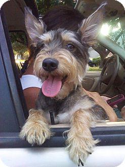 Schnauzer (Miniature)/Yorkie, Yorkshire Terrier Mix Dog for adoption in Houston, Texas - TUCKER