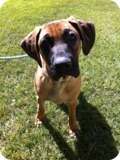 Rhodesian Ridgeback/German Shepherd Dog Mix Puppy for adoption in Lake Forest, California - Sherman