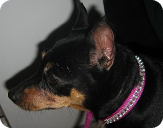 Miniature Pinscher Dog for adoption in Prole, Iowa - Jazzy