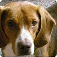 Adopt A Pet :: Timothy PENDING - Indianapolis, IN