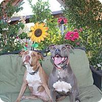 American Staffordshire Terrier Mix Dog for adoption in Toluca Lake, California - Mack
