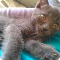 Adopt A Pet :: Ashley - Courtesy Posting! - Canoga Park, CA
