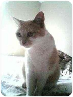 Domestic Shorthair Cat for adoption in Proctor, Minnesota - Betty
