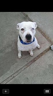 Pit Bull Terrier Mix Dog for adoption in Rancho Cucamonga, California - RYNO