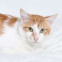 Adopt A Pet :: Cupid - Roseville, CA