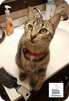 Domestic Shorthair Cat for adoption in Hamilton, Ontario - Sissy