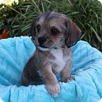 Adopt A Pet :: ASTER - Newport Beach, CA