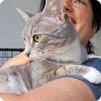 Adopt A Pet :: Bootsie!Adorable Petite Gray Teen Tabby Girl - Brooklyn, NY