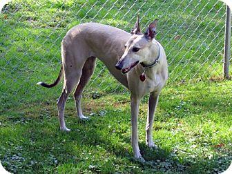 Greyhound Dog for adoption in Fremont, Ohio - Lisa