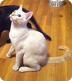 Siamese Cat for adoption in Austin, Texas - Phoebe VII