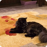Domestic Longhair Cat for adoption in Miami, Florida - Fuzzy